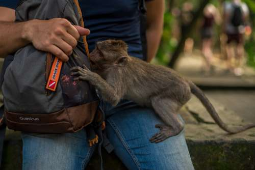 Indonesia Bali Park Reserve Monkey Wild Man