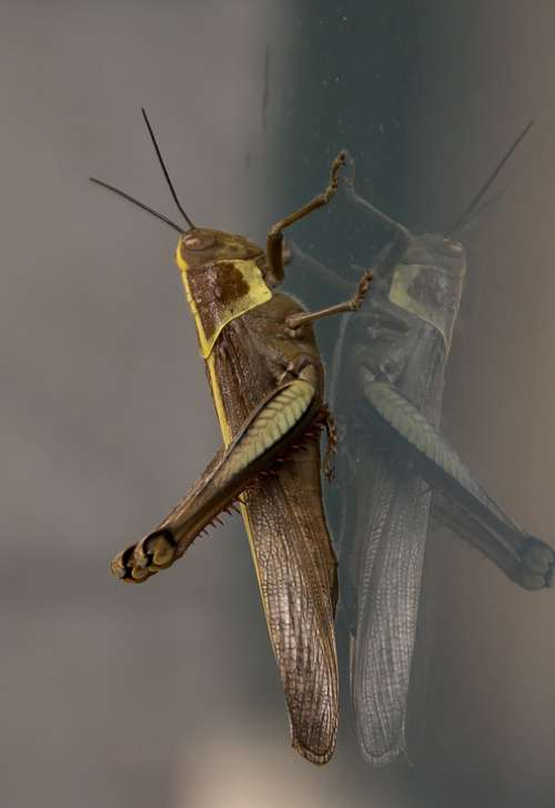 Insect Giant Grasshopper Hedge Grasshopper