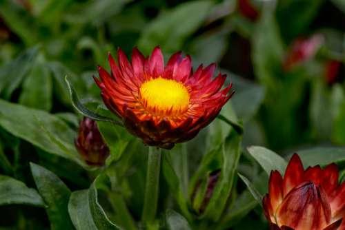 Italicum Gnaphalieae Trockenblume Red Bright