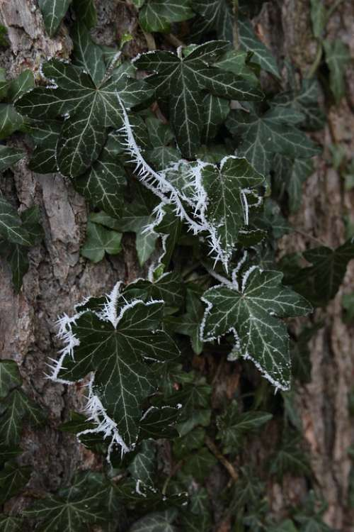 Ivy Leaves Ripe Crystals Winter Eiskristalle Frost