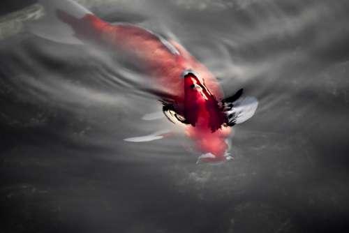 Japan Fish Koi Red Reflection Kyoto Tokyo Osaka