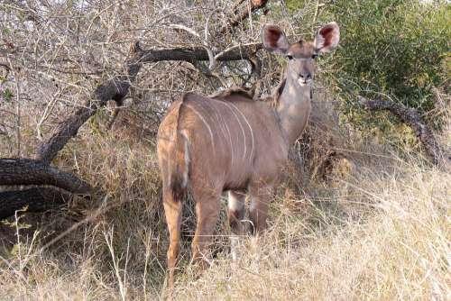 Khudu Antelope Safari Animal World Wildlife