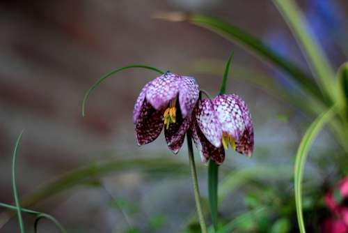 Kievitsbloem Fritillaria Meleagris Checkered Couple