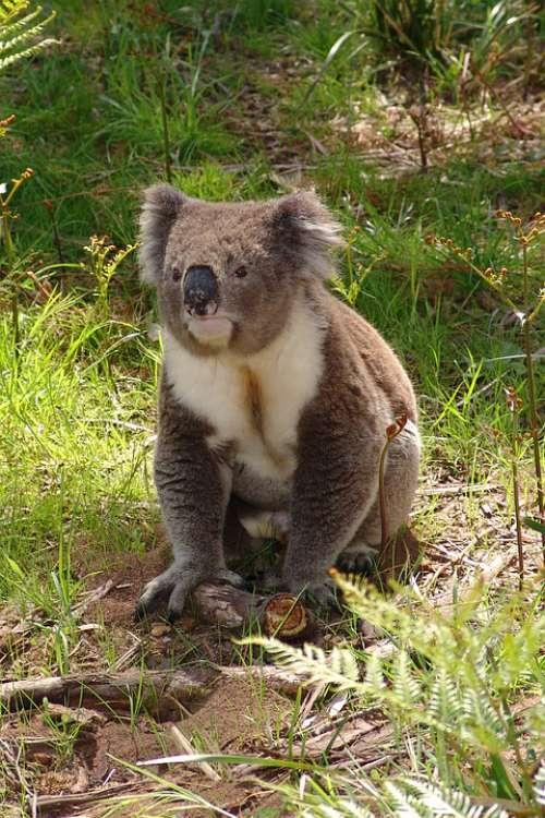 Koala Australia Animal Cute Nature Marsupial Wild