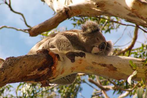Koala Australia Animal Cute Nature Marsupial