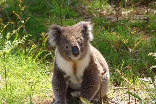 Koala Australia Marsupial Wildlife Nature Animal