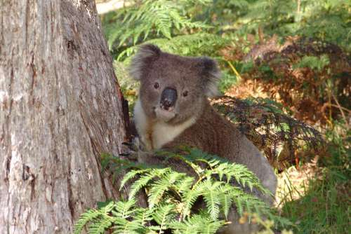 Koala Australia Animal Nature Wildlife Marsupial