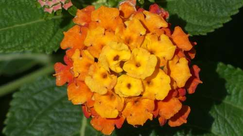 Lantana Flower Garden Nature Plant Orange