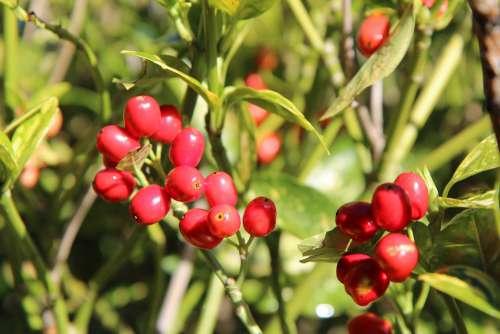 Laurier Aucuba Of Japan Fruit Red Fruit