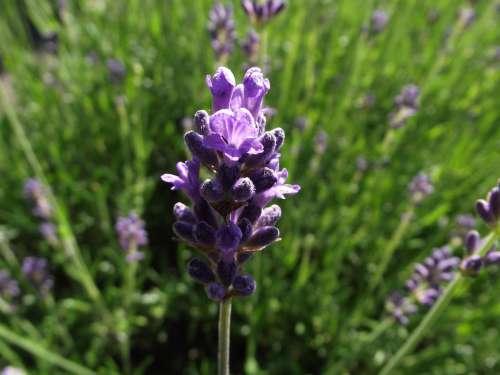 Lavender Plant Purple Nature Summer Violet