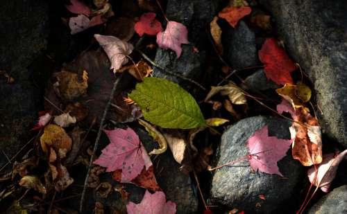 Leaf Leaves Autumn Red Colour Season Stream