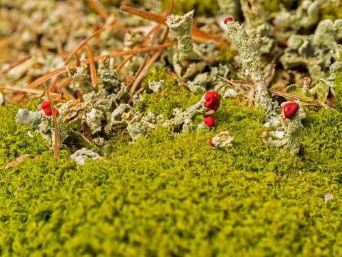 Lichen Pillar Lichen Rotfrüchtige Pillar Lichen Moss