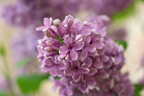 Lilac Pink Branch Spring Flowers Garden Leaves