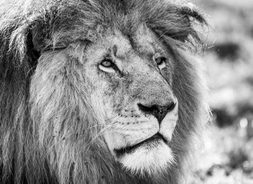 Lion Black White Predator Africa Male Animal World