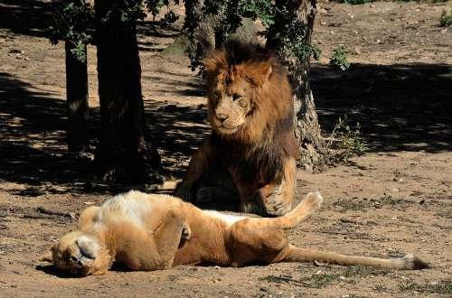 Lion Lioness Carnivore Tawny Félidé Feline Africa