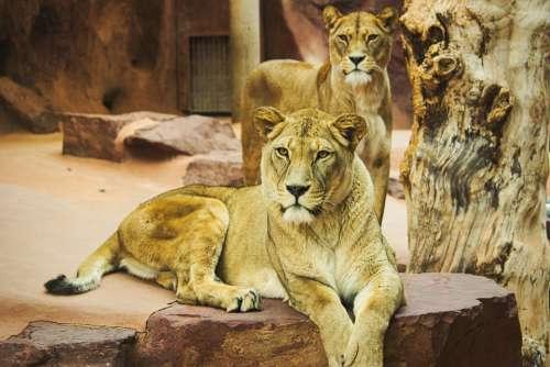 Lion Zoo Cat Predator Big Cat Mane Wild Animal