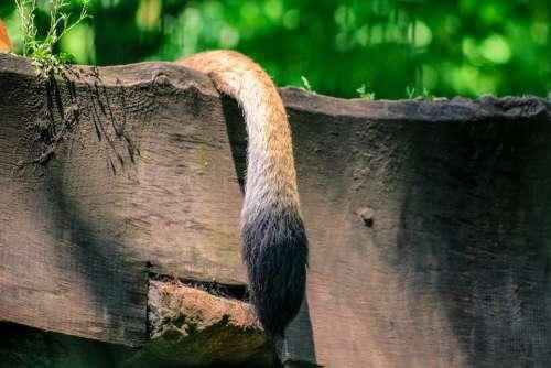 Lion Tail Lying Wood Board Animal Animal World
