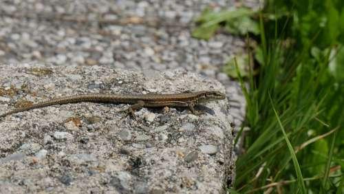 Lizard Mountain Nature Reptile Stone Animal