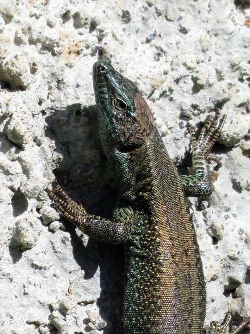 Madeira Lizard Nature Fauna Stone Wall