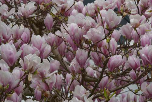 Magnolia Flowers Spring Pink