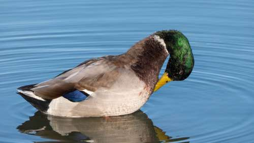 Mallard Duck Duck Preening Water Lake Waterfowl