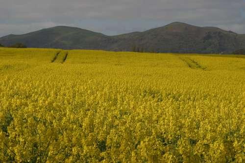 Malvern Hills Rape Seed Fields Worcestershire