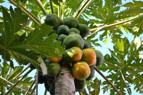 Mango Tree Fruit Leaves Green Food Branches