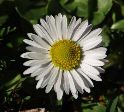 Marie Flower Daisy Small Blossom Bloom White Joy