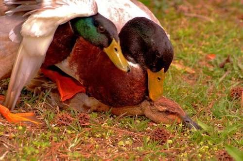Mating Duck Mallard Spring Bird Nature Waterfowl