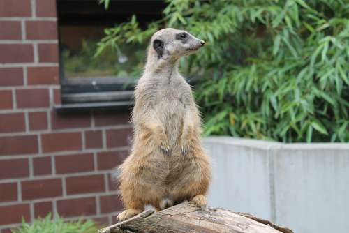 Meerkat Animal Vigilant Small Cute Animal World