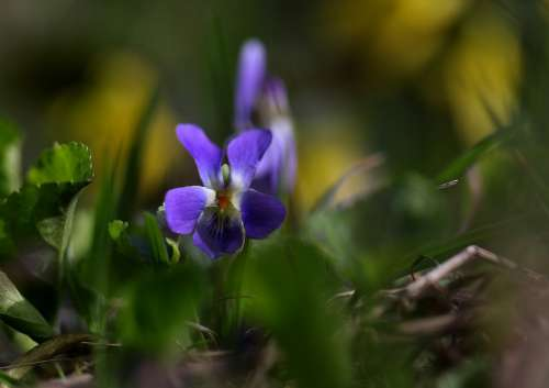 Micsunea Flower Blue Spring Small Coloring Violet