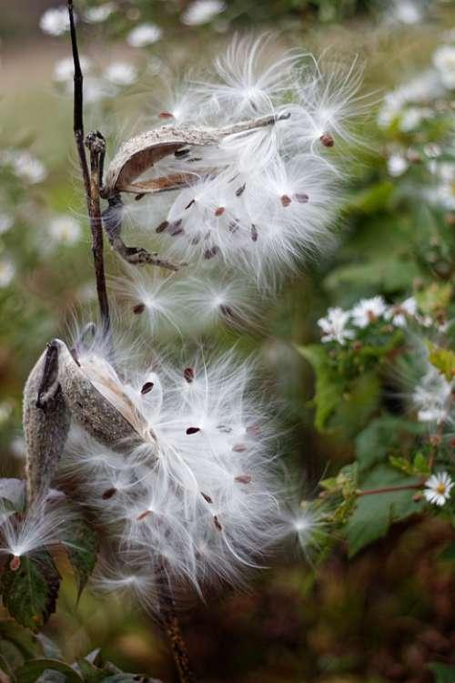 Milkweed Seeds Plants Pod