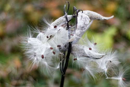 Milkweed Pods Seeds Fluffy