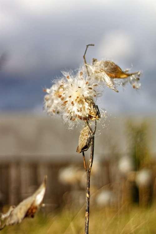 Milkweed Pods Seeds Barn