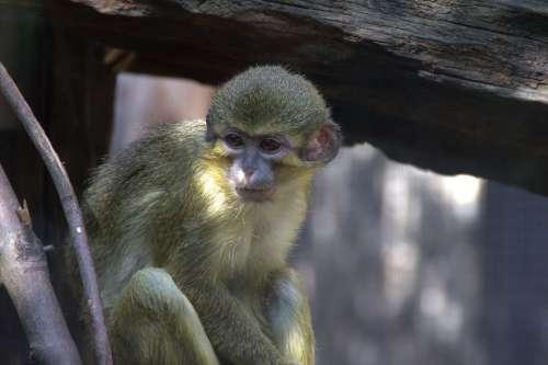 Monkey Zoo Animal Animal World Mammal Nature