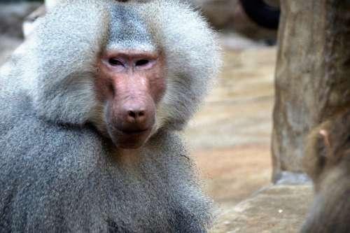 Monkey Baboon Animal Zoo Primate Male