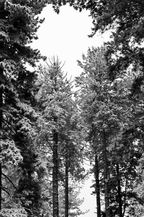 Monochrome Woods Wood Tree Nature White Black