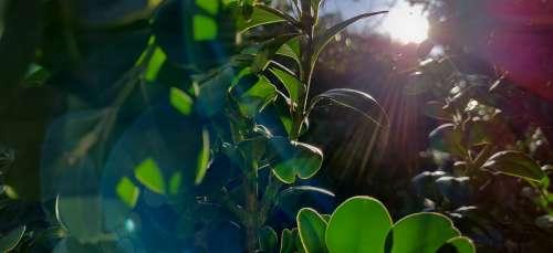 Morning Leaves Sun Lens Flare