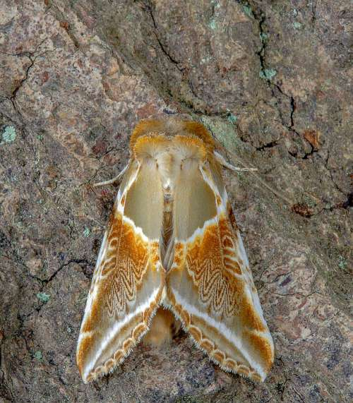 Moth Buff-Arches Wings Pattern Nature Insect