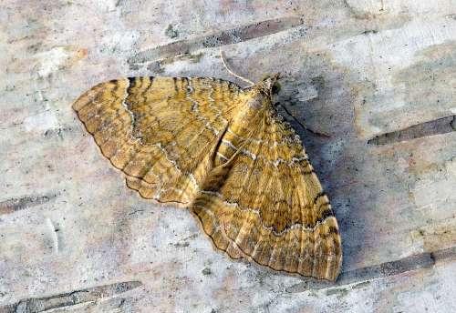 Moth Yellow-Shell Wings Pattern Summer Nature