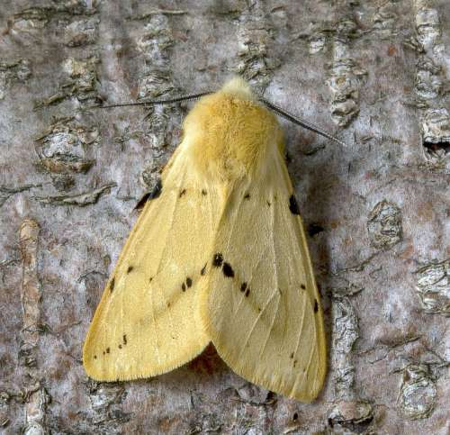 Moth Buff-Ermine Wings Pattern Insect Nature