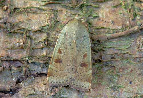 Moth Lesser-Yellow-Underwing Wings Pattern Insect