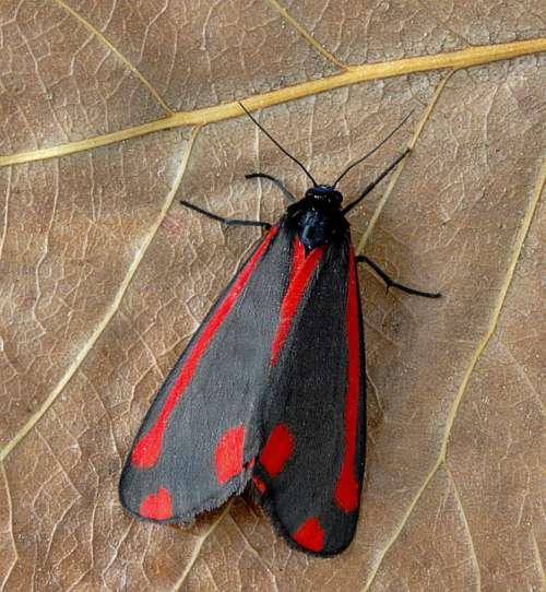 Moth Cinnabar Red Black Pattern Insect Summer Uk