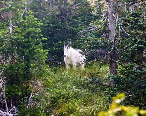 Mountain Goat Alpine Forest Goat Horns Mountain