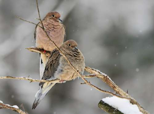 Mourning Doves Dove Bird Nature Wildlife Perched