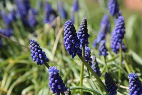 Muscari Flowers Spring Flowering Fulfillment