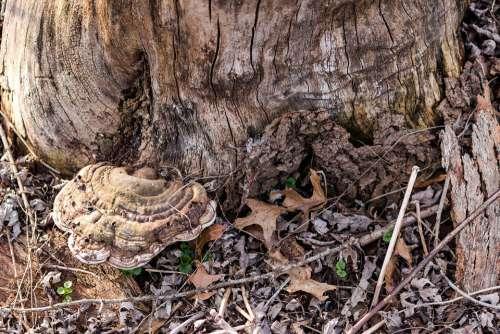 Mushroom Nature Brown Fungus Tree Fungi