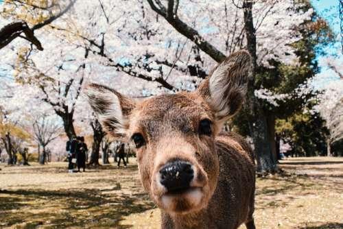 Nara Japan Spring Deer Blossom Cherry Animal Day