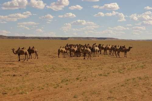 Nature Camel Desert The Wilderness