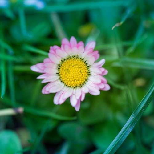 Nature Pink Daisy Plant Garden Purple Spring